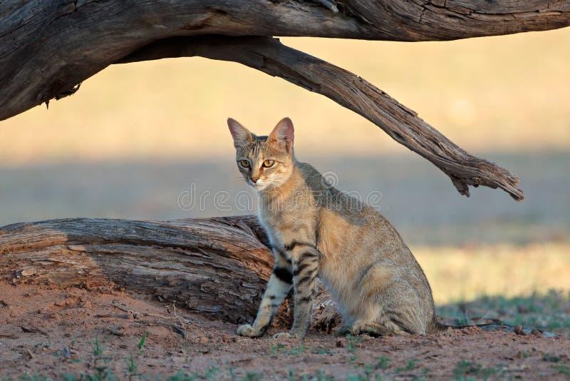 Afrikaanse wilde kat - de woestijn van Kalahari royalty-vrije stock fotografie