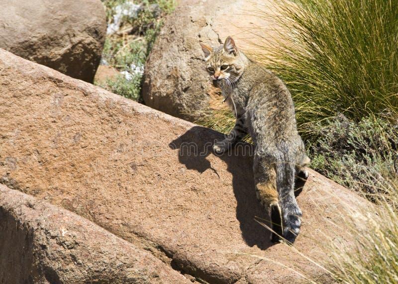 Afrikaanse Wilde Kat, gato selvagem africano, silvestris do Felis fotos de stock royalty free