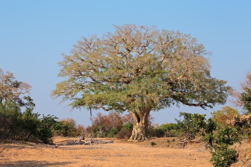 Afrikaanse wilde vijgeboom stock foto's