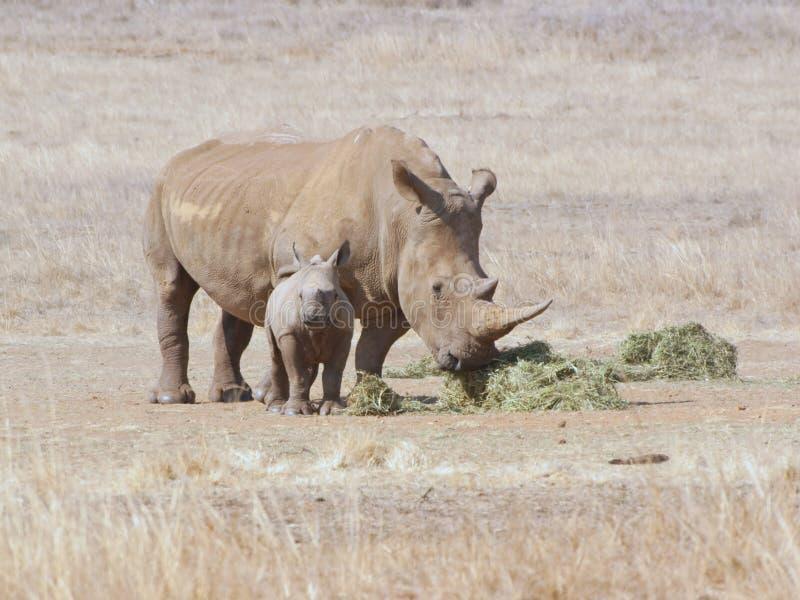 Afrikaanse witte rinoceroskoe met kalf stock fotografie