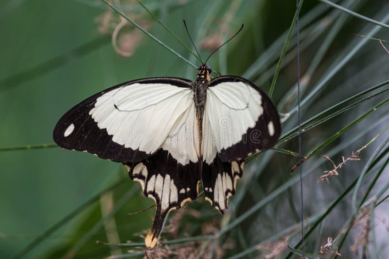 Afrikaanse Witte Swallowtail-vlinder, Papilio-dardanuszitting op een blad royalty-vrije stock afbeeldingen