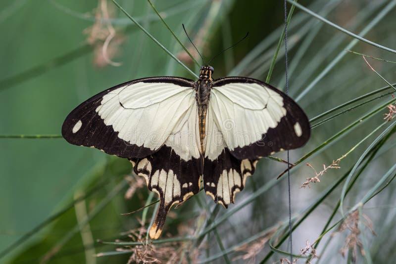 Afrikaanse Witte Swallowtail-vlinder, Papilio-dardanuszitting op een blad stock foto's