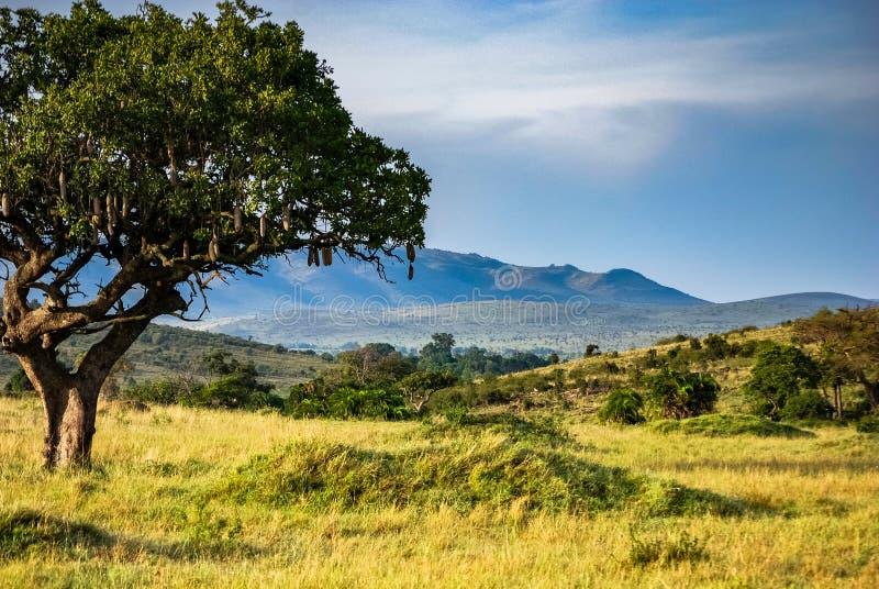 Afrikaanse Worstboom in Savannah Masai Mara Kenya stock afbeeldingen