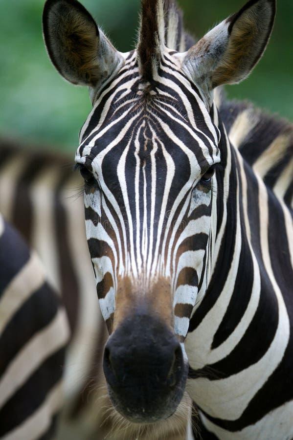 Afrikaanse Zebra royalty-vrije stock foto