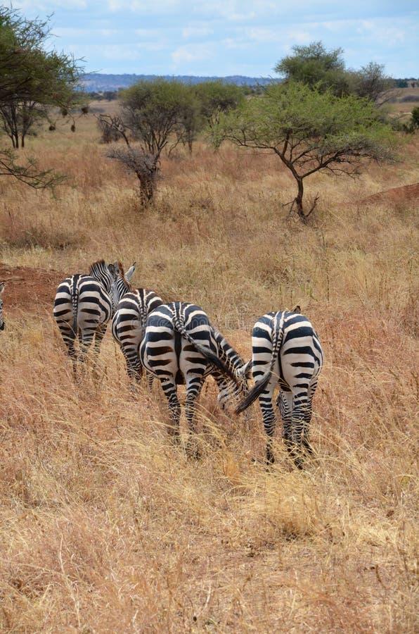 Afrikaanse zebras grazen op groot gras in hun natuurlijke habitat royalty-vrije stock afbeeldingen