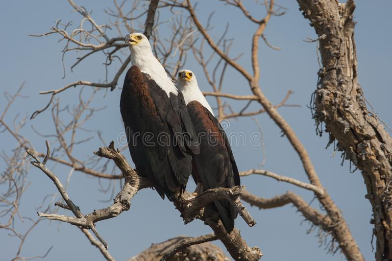 Afrikaanse Zeearend, afrikansk fisk Eagle, Haliaeetusvocifer arkivfoton