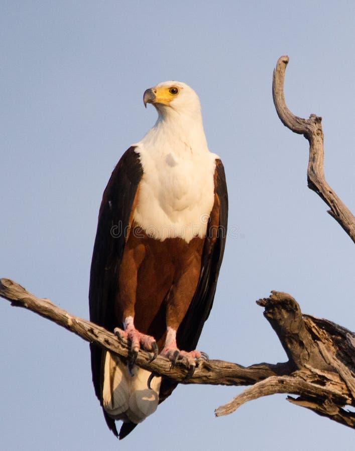 Afrikan fisk-Eagle arkivbild