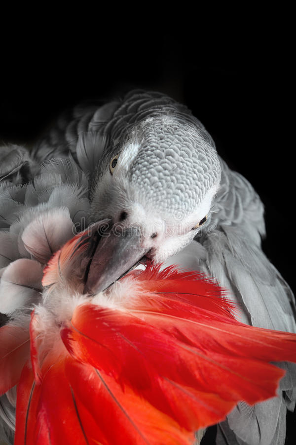 Afrikan Grey Parrot arkivbild