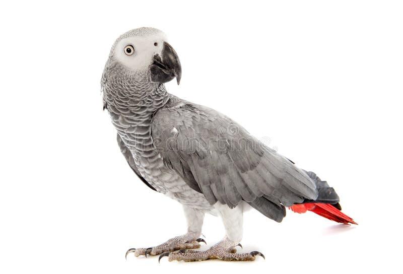 Afrikan Grey Parrot arkivfoton