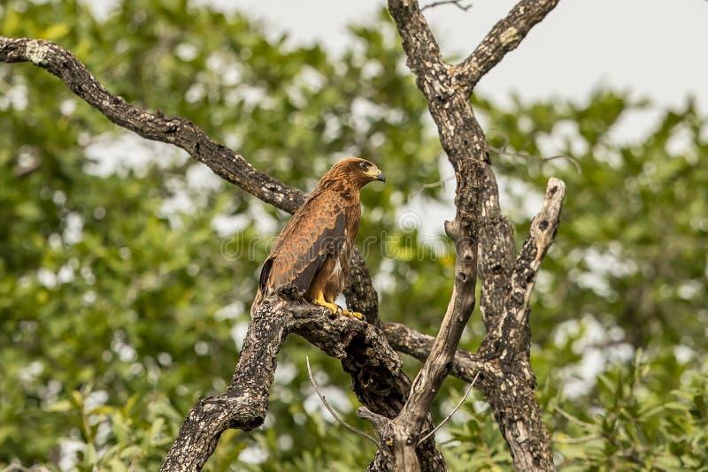 Afrikan Hawk Eagle Botswana royaltyfri bild
