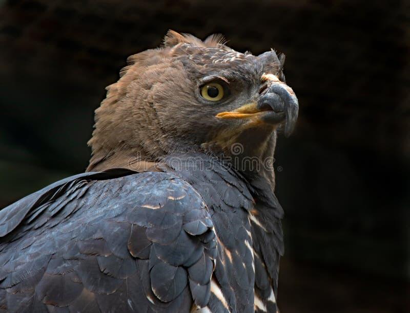afrikan krönad örn arkivfoto