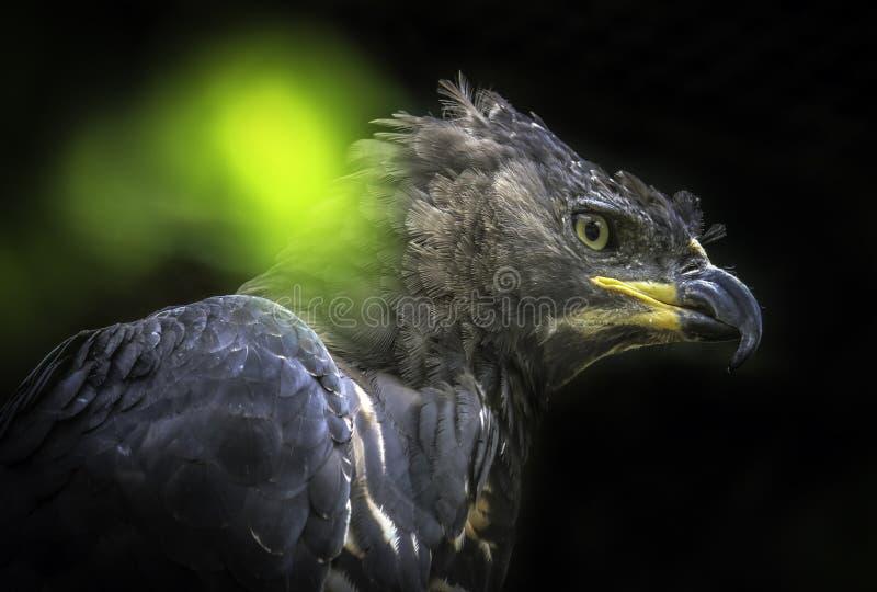 afrikan krönad örn royaltyfri foto