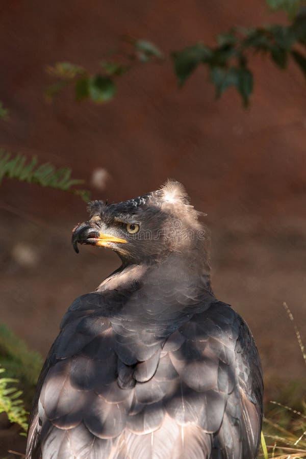 Afrikan krönad örnStephanoaetus coronatus royaltyfri foto