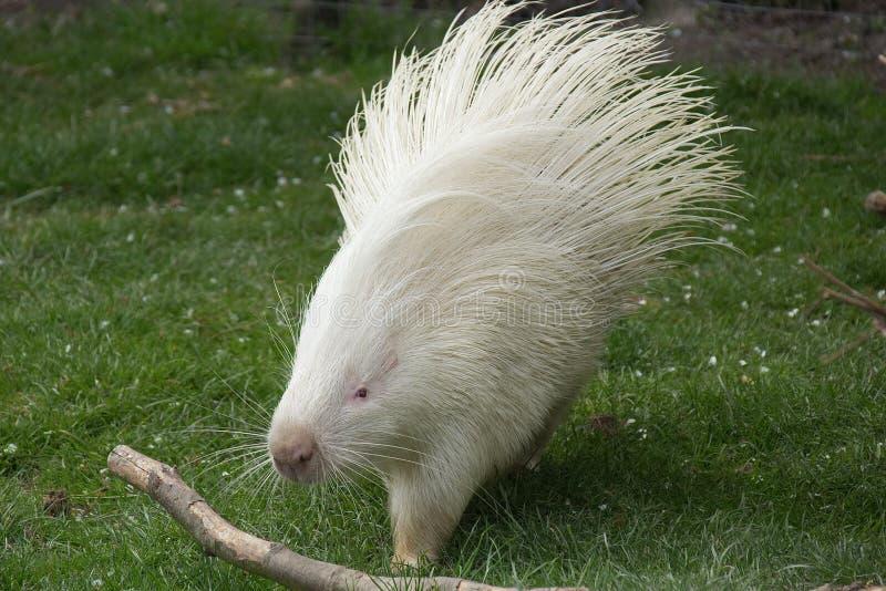 afrikan krönad porcupine royaltyfria bilder