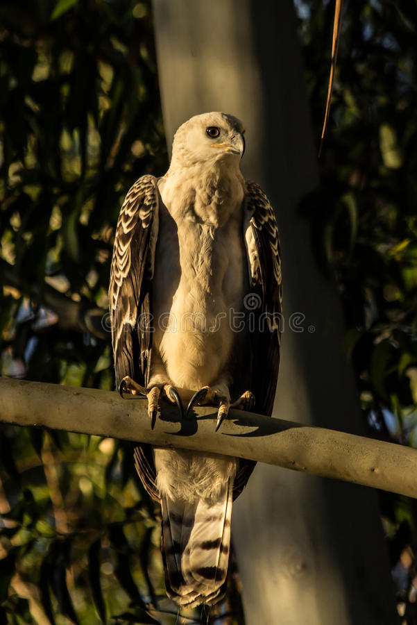 Afrikan krönade Eagle arkivbilder