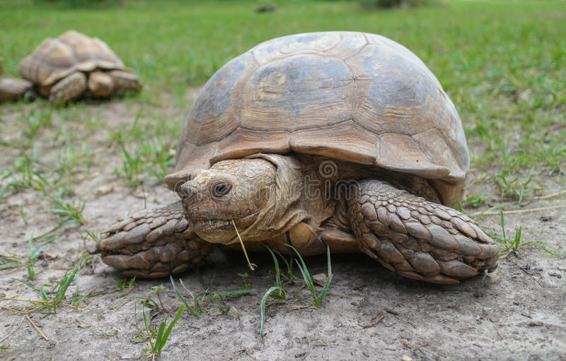 Afrikan sporrad sköldpadda på fält arkivfoton