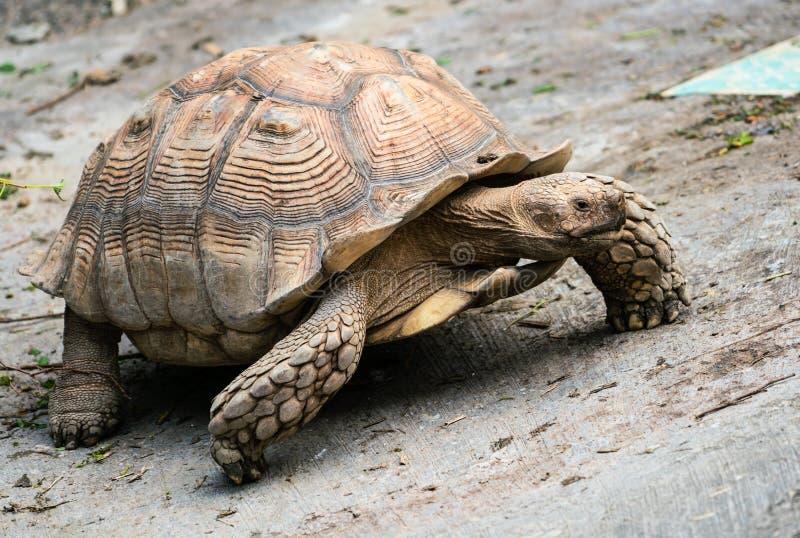 Afrikan sporrad sköldpadda som går närbild fotografering för bildbyråer