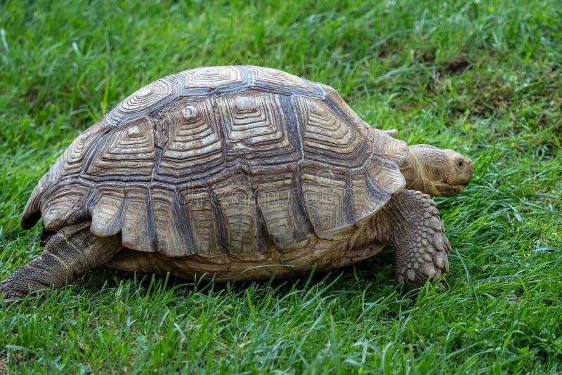 Afrikan sporrad sköldpaddaGeochelonesulcata arkivfoto