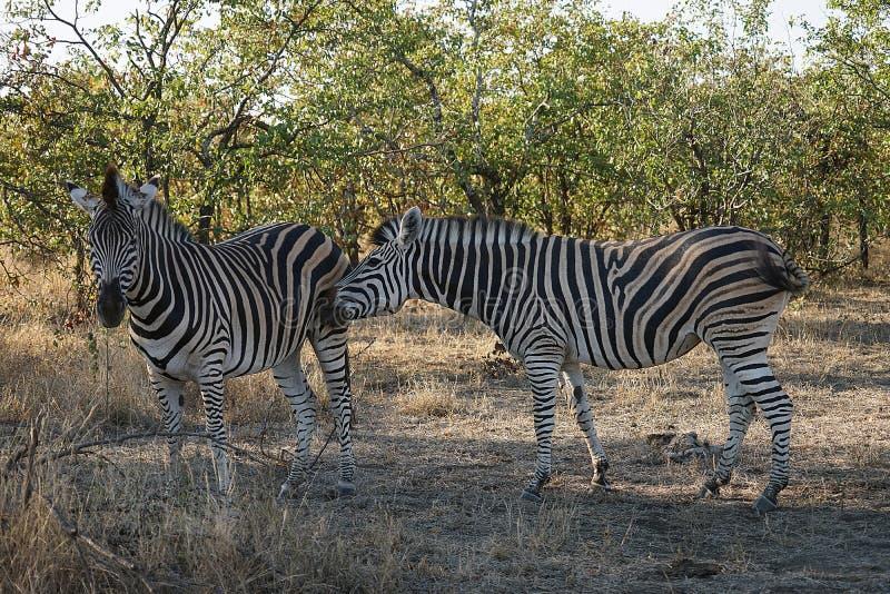 AfrikanBurchell sebra i spela för vildmark arkivfoto