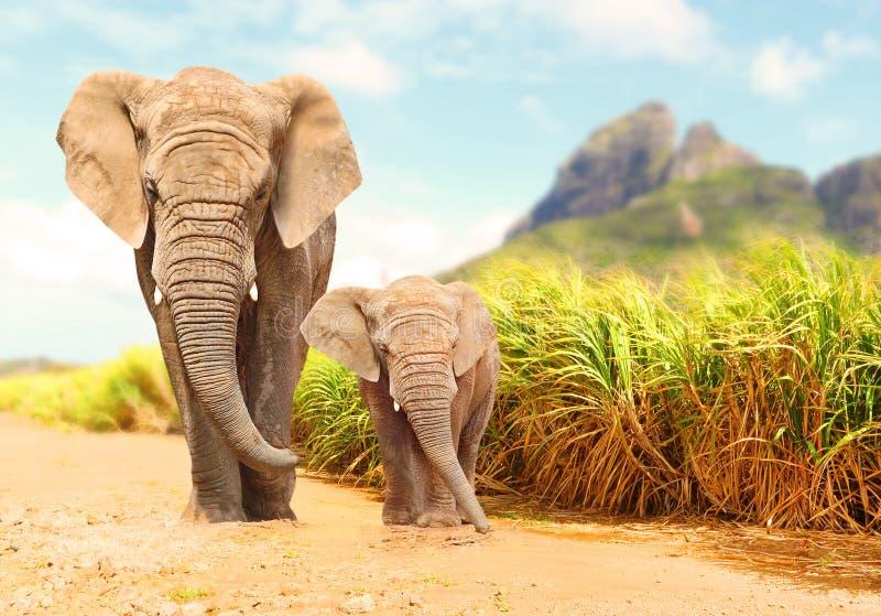 AfrikanBush elefanter - Loxodontaafricanafamilj arkivfoto