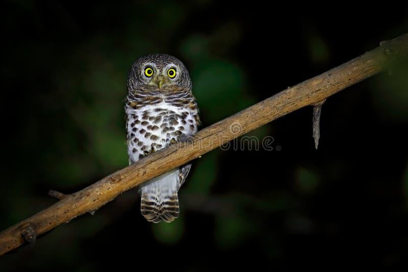 Afrikanen bommade för uggleungen, Glaucidium capense, fågel i naturlivsmiljön i Botswana Uggla i djurt sammanträde för nattskog p arkivbild
