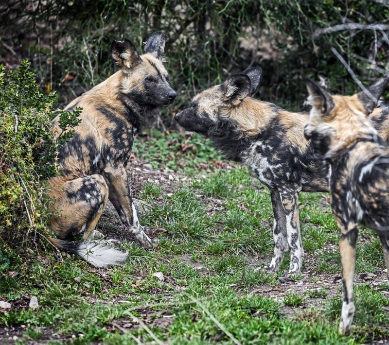 afrikanen dogs jakt arkivfoto