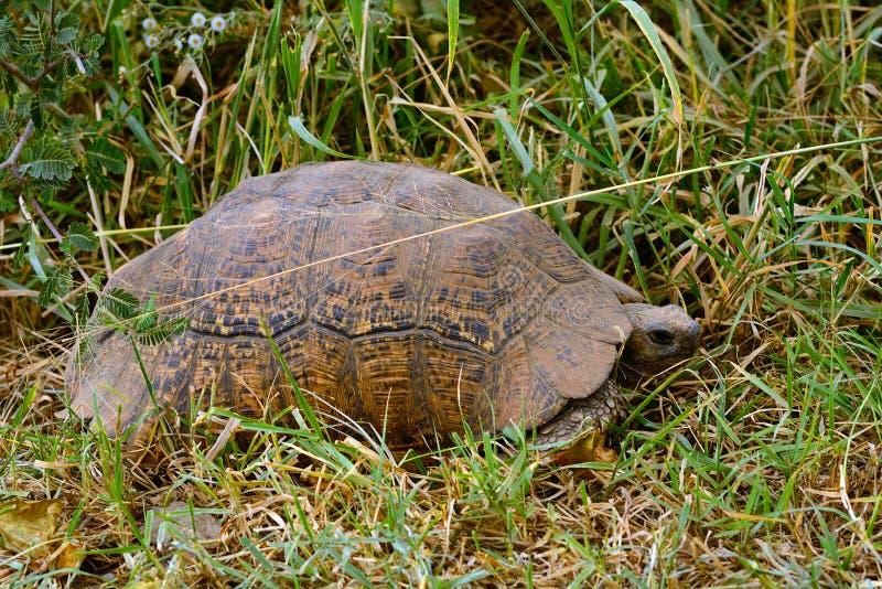 Afrikanen sporrade sköldpaddan, sjön Nakuru National Park, Kenya arkivbild