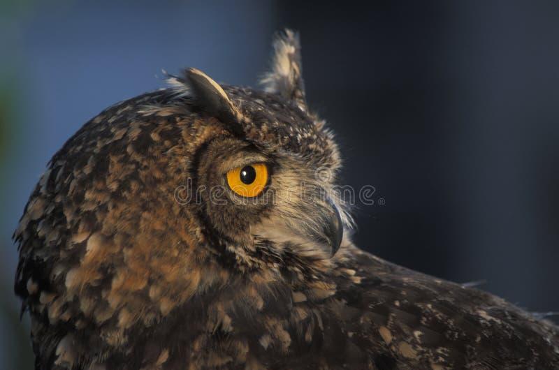 Afrikaner Eagle Owl lizenzfreie stockfotografie