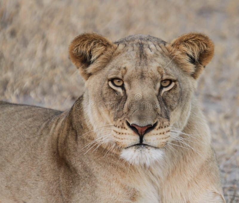 Afrikaner Kalahari-Löwin lizenzfreie stockbilder
