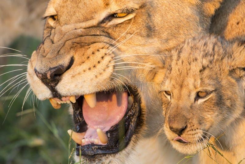 Afrikaner Lion Mother und CUB (Panthera Löwe) Südafrika (Panthera stockfotografie