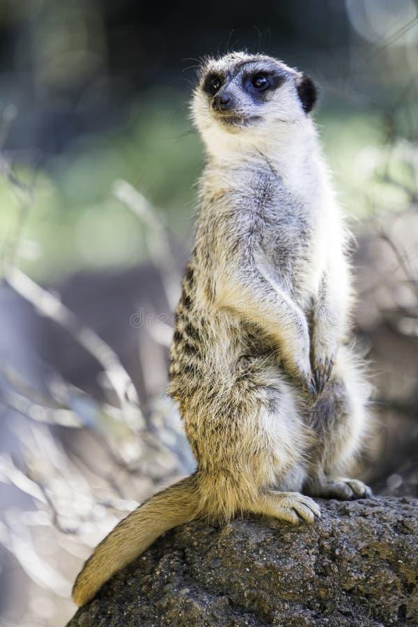 Afrikaner Merecat-Stellungsuhr bei San Francisco Zoo lizenzfreies stockbild