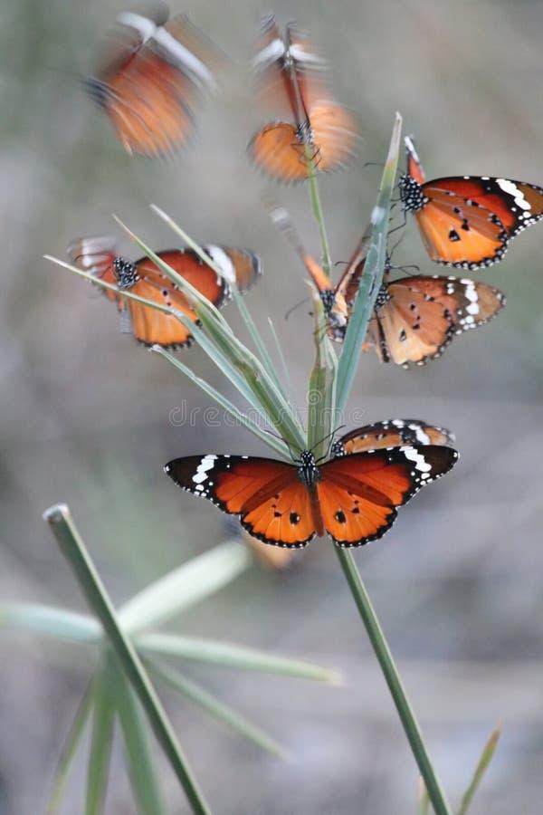 Afrikaner Monach-Schmetterling lizenzfreie stockbilder