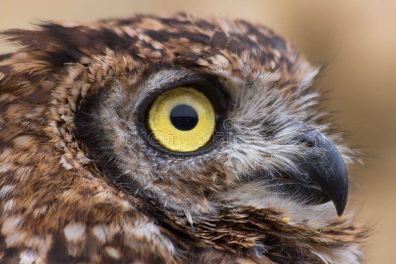 Afrikaner Owl Profile lizenzfreie stockfotografie