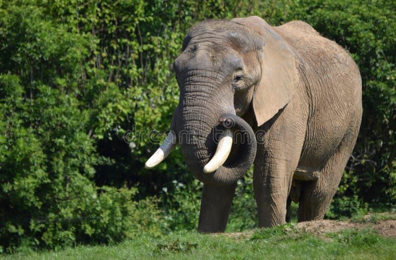 Afrikaner-Stier-Elefant mit den Stoßzähnen lizenzfreie stockbilder