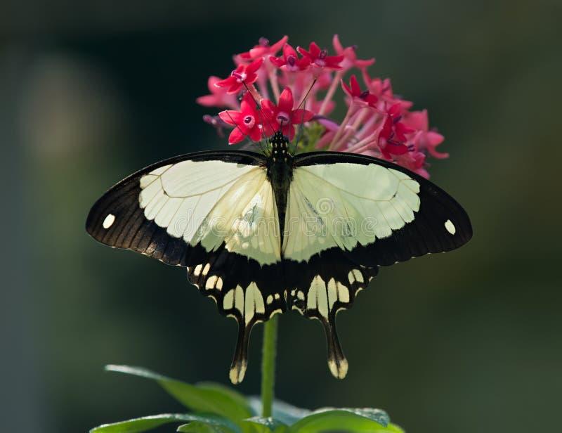 Afrikaner Swallowtail-Schmetterling stockfoto
