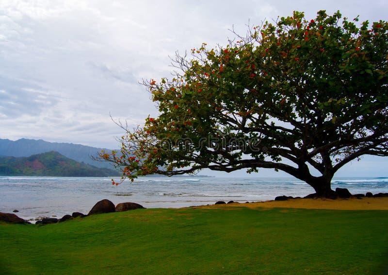 Afrikaner Tulip Tree auf Insel von Kauai Hawaii lizenzfreie stockbilder