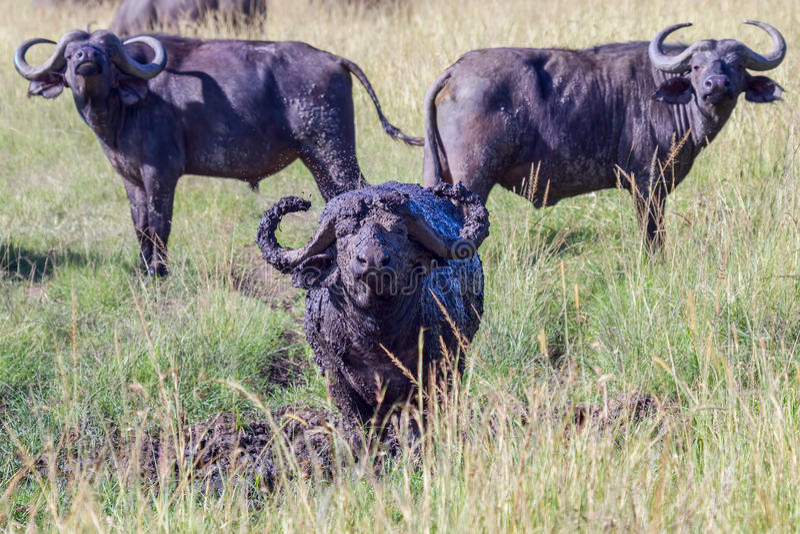 Afrikaner u. x28; Cape& x29; Büffel - gestaltet lizenzfreie stockbilder