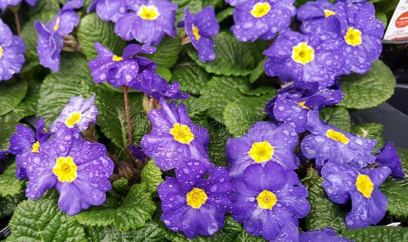 Afrikaner-Violet Flower Close Up Still-Leben-Blühen stockfotografie