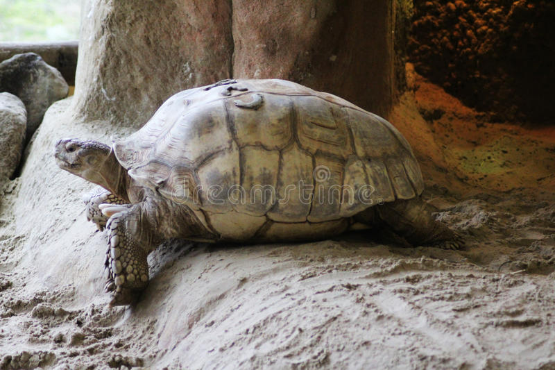 Afrikanische angetriebene Schildkröte lizenzfreie stockbilder