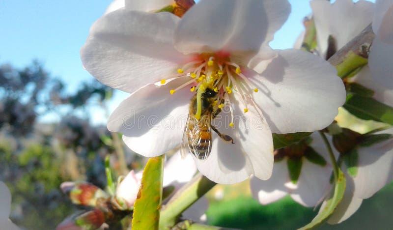 Afrikanische Bienen lizenzfreies stockbild