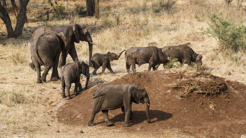 Afrikanische Buschelefanten und wilder Büffel in Nationalpark Kruger stockbilder