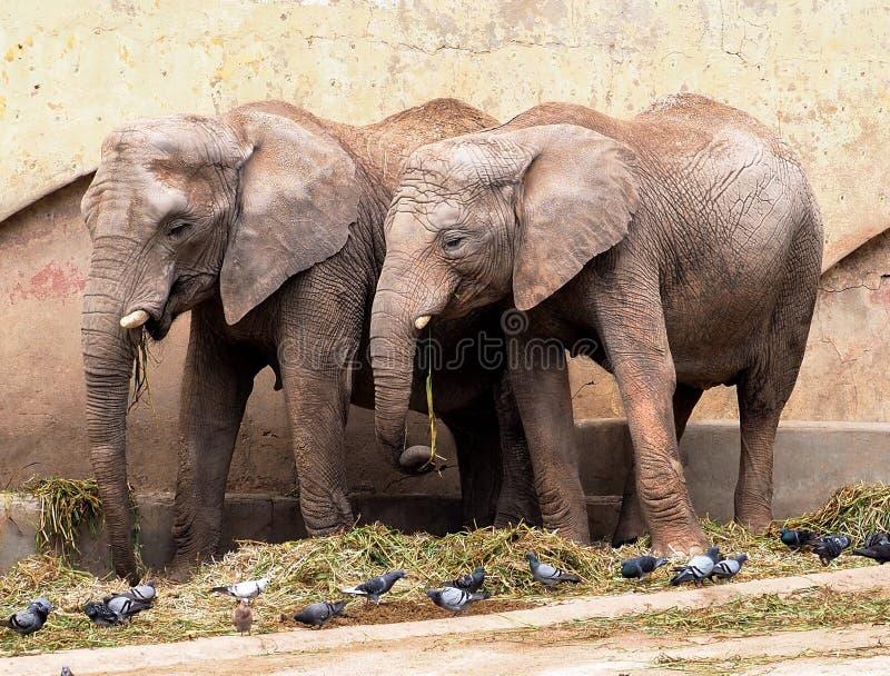 Afrikanische Elefant-Klasse Loxodonta stockfotos