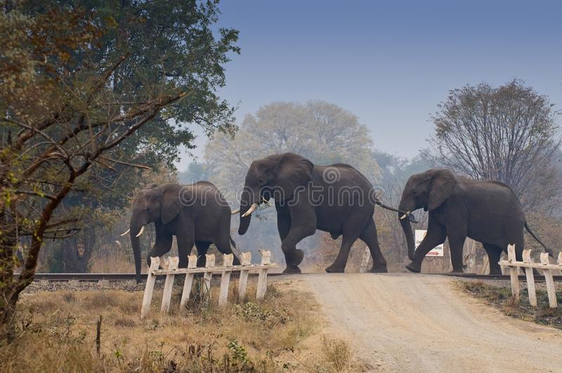 Afrikanische Elefanten überqueren Eisenbahn in Sambia, Afrika lizenzfreie stockfotografie