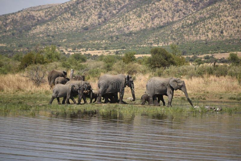 Afrikanische Elefanten bei Pilanesberg lizenzfreies stockfoto
