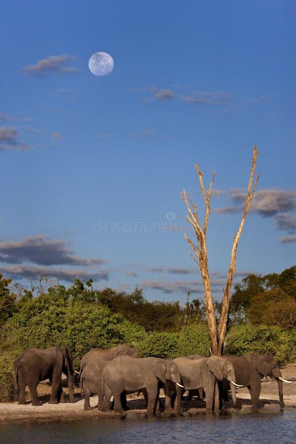 Afrikanische Elefanten - Botswana stockbilder