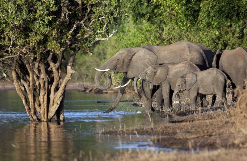 Afrikanische Elefanten - Botswana lizenzfreie stockfotografie