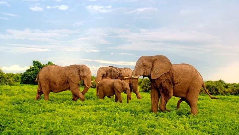 Afrikanische Elefanten in der Buschsavanne, Botswana. lizenzfreie stockfotos
