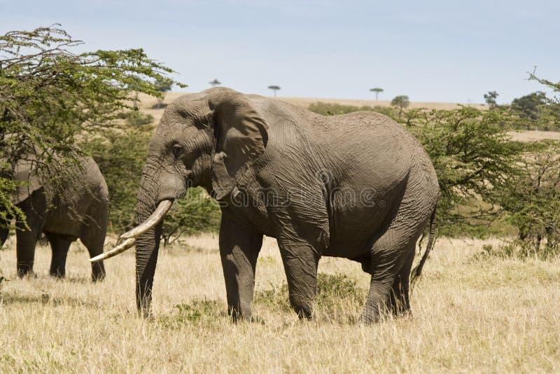 Afrikanische Elefanten, die die trockene Hitze der Maasai Mara, Kemya stockfotografie
