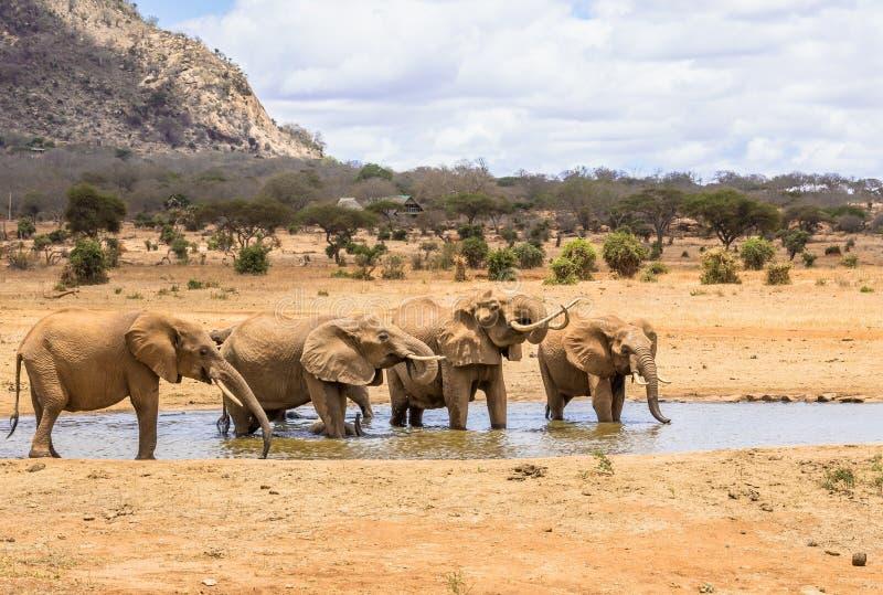 Afrikanische Elefanten in Kenia stockfotografie