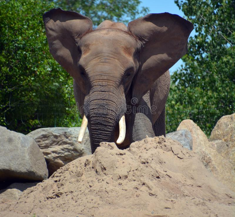 Afrikanische Elefanten sind Elefanten der Klasse Loxodonta, lizenzfreie stockbilder